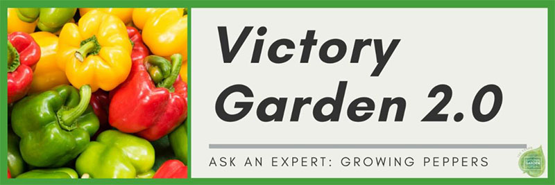 victory gardening peppers