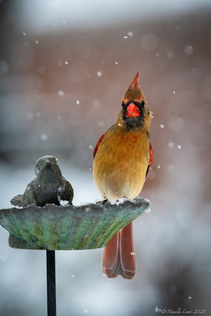 Photo by Pam Lever of a female cardinal