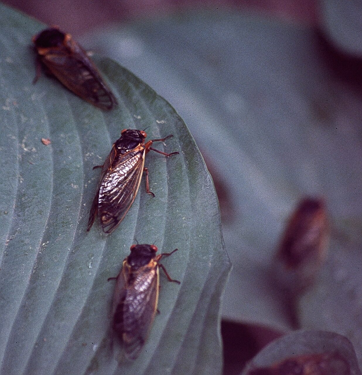 Cicada adults on hostas, just hangin' out