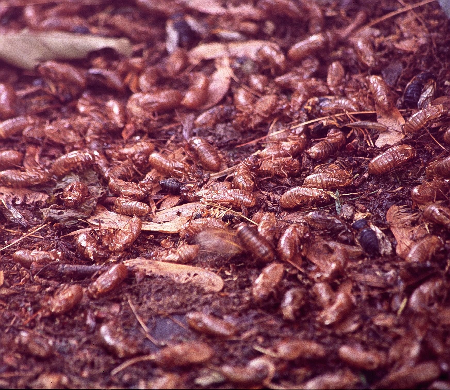 dead cicadas at end of season