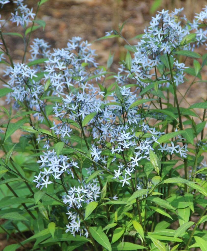 Amsonia tabernaemontana Blue MD Native