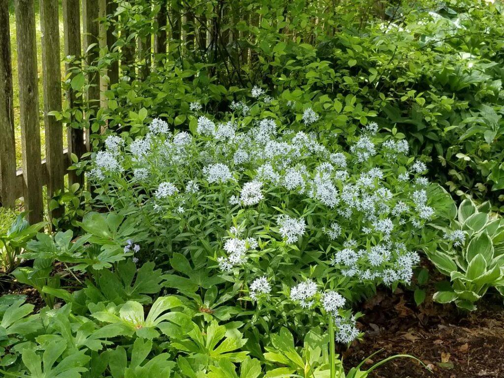 Amsonia tabernaemontana Blue