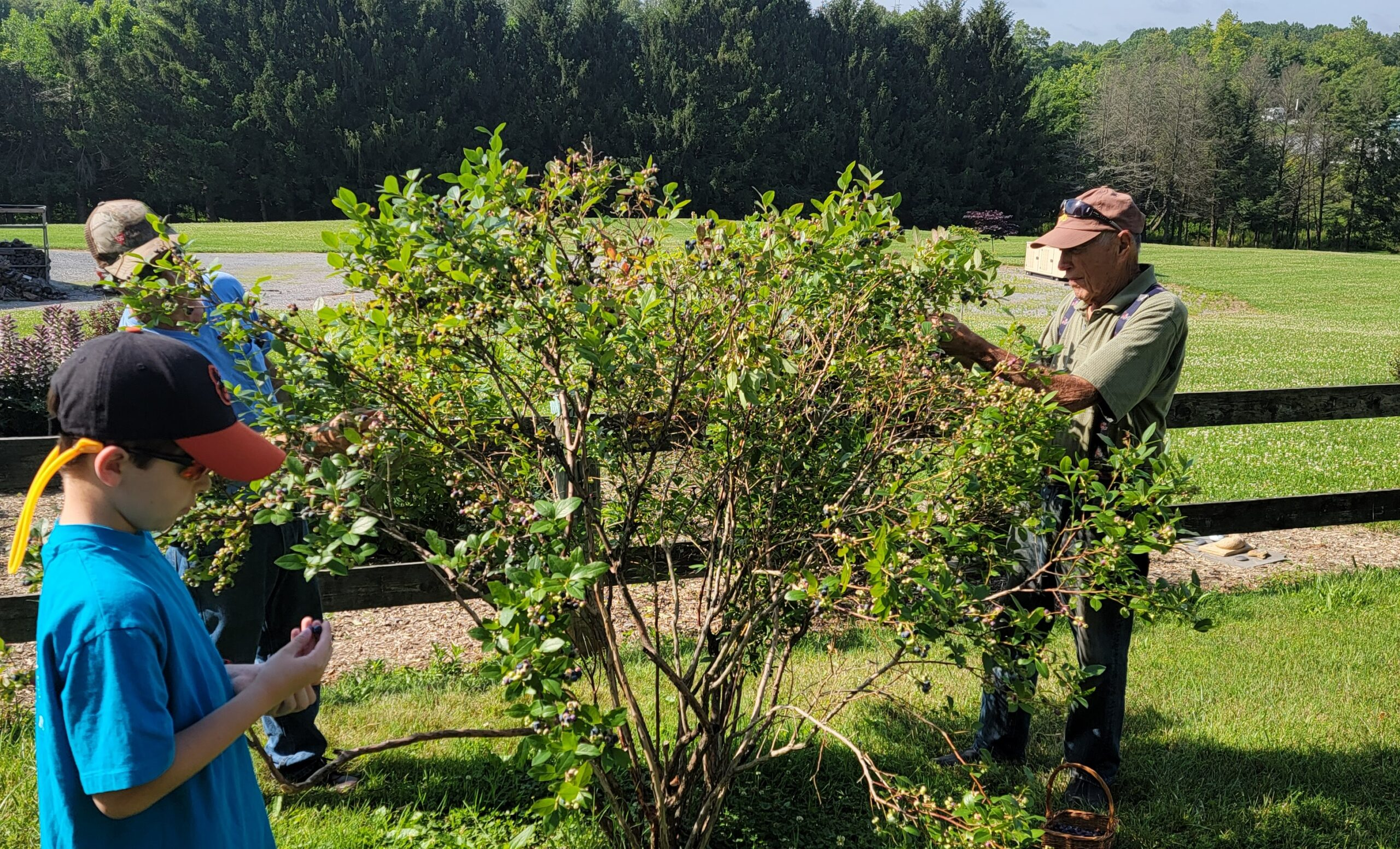 3 Generations Picking Blueberries On A 70 Year Old Bush