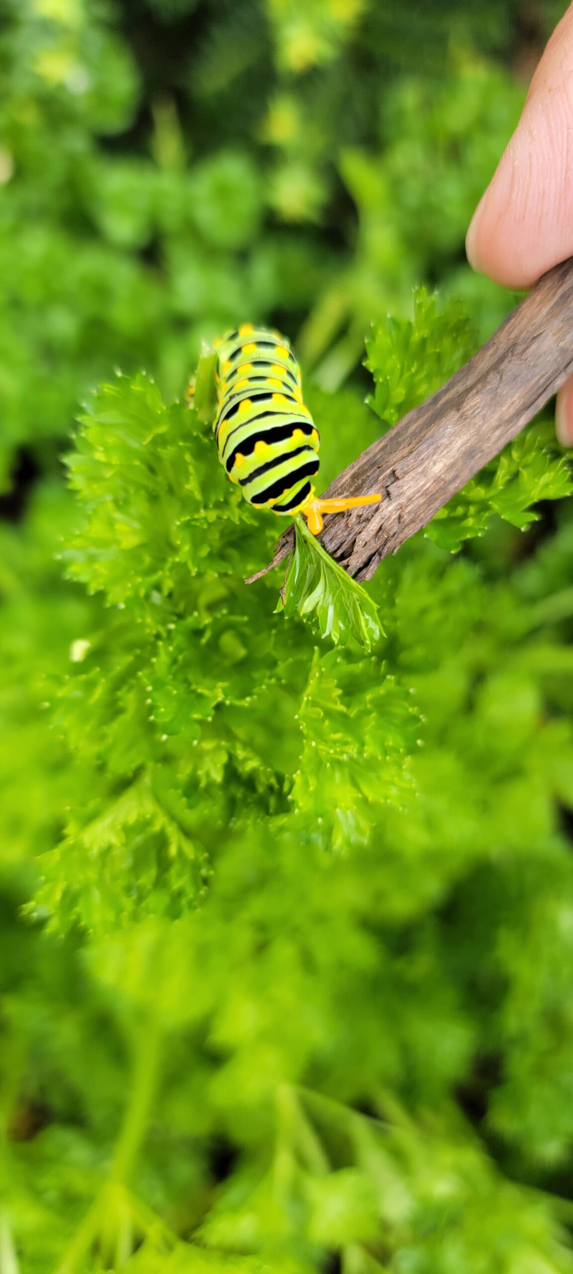 Parsley Caterpillar On The Parsley Plant