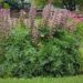 Bear's Breeches 'Acanthus spinosus'